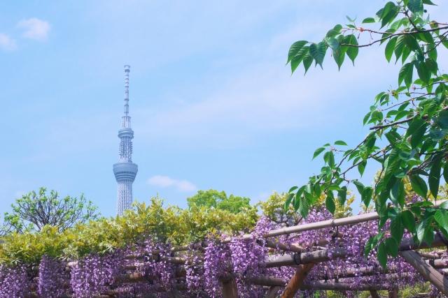 スカイツリーと藤の花